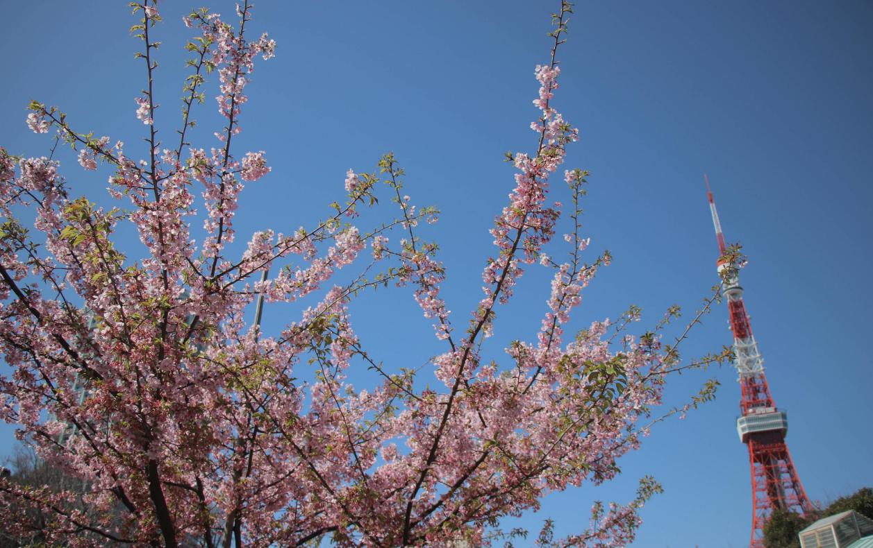इस बार पिछले 1200 साल में पहली बार चेरी के पेड़ पर समय से पहले ही पूरी तरह फूल लगे हैं. जापान में चेरी के पेड़ पर फूल खिलना बसंत के आने का संकेत होता है.