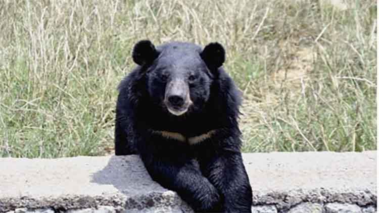 भालू के हमले से तीन घायल